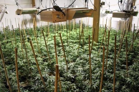 Marijuana grow HC